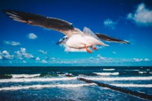 Strandmöwe - Dierhagen